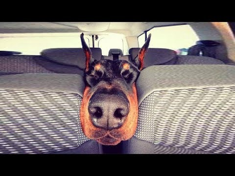Funny Doberman Dogs | Dobermans are Awesome Dog Breed | Compilation