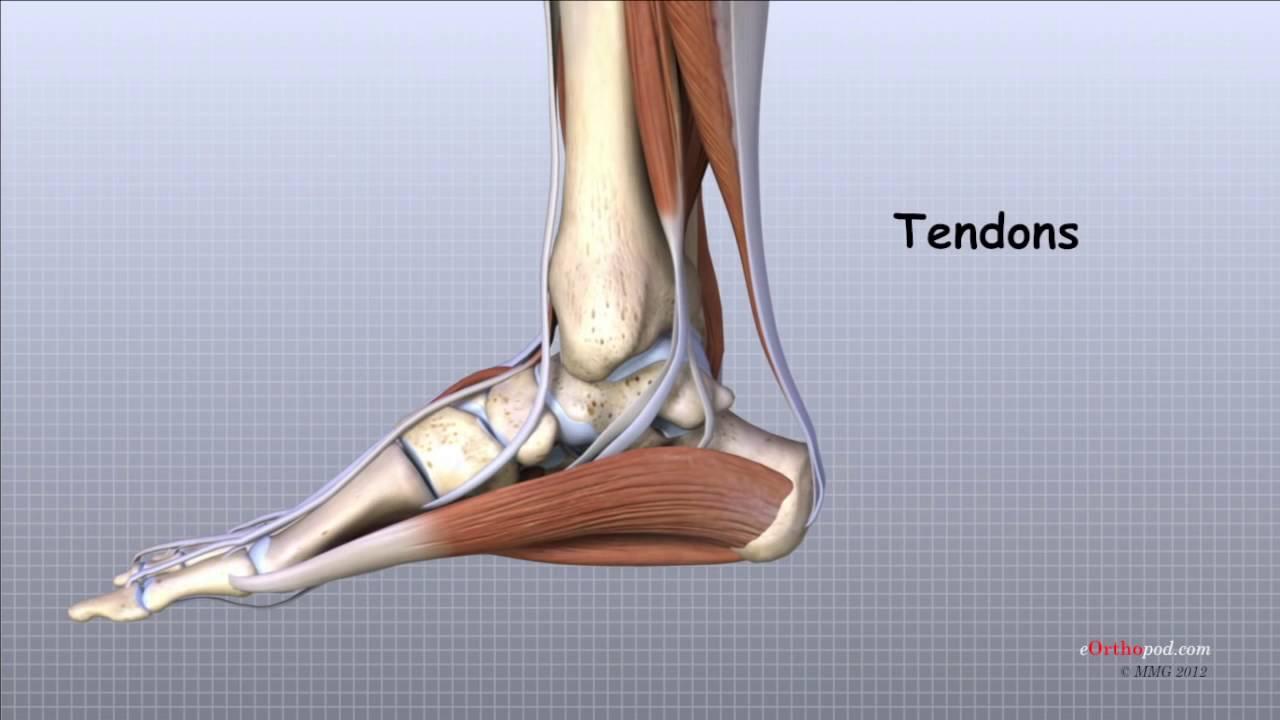 structura piciorului