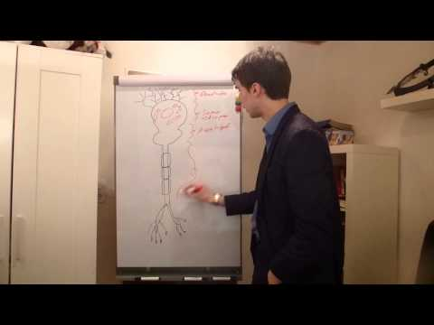 Biolgie - Das Neuron (Aufbau der Nervenzelle)