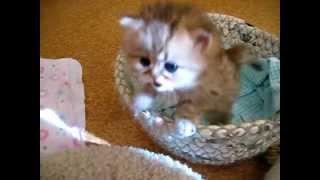 Anak kucing yang sangat comel