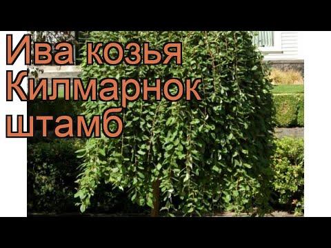 Ива козья Килмарнок штамб (salix caprea) 🌿 обзор: как сажать, саженцы ивы Килмарнок штамб