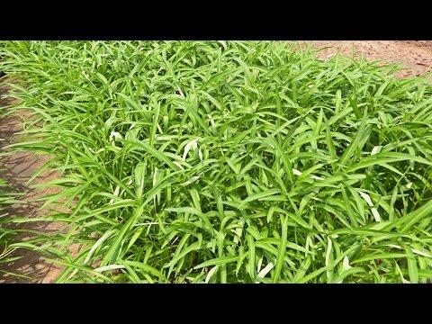 ปลูกผักบุ้งจีน 28 วันเก็บขาย รายได้งาม