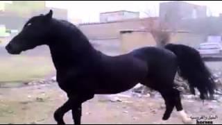 هذا الحصان العربي الاصيل   أنطبق عليه وصف الرسول صلى الله عليه وسلم لأفضل وأحب الخيل وخيرها  محجل ث
