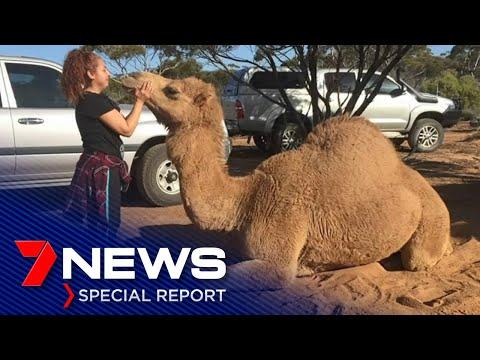A Sad Farewell The Humphrey, Ceduna's 'human' Camel    7NEWS