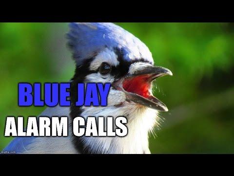 Blue Jay Alarm Calls And Imitating A Sharp Shinned Hawk