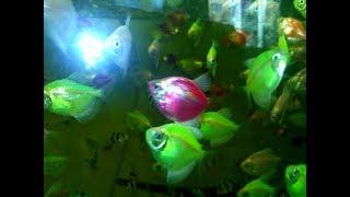 Нерест тернеции GloFish