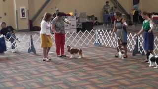 Bluegrass Classic 2013 - Cavalier King Charles Spaniel - Winners Bitch
