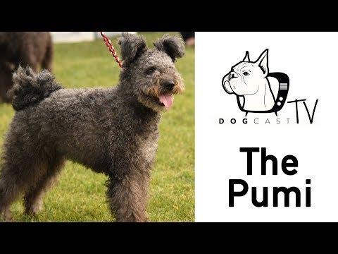 A Pumi - DogCast TV S02E12