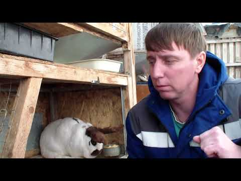 Видео: Инбридинг. Родственные спаривания кроликов.