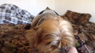 Yorkshire Terrier Aka Wubbie The Dog Asleep On The Job
