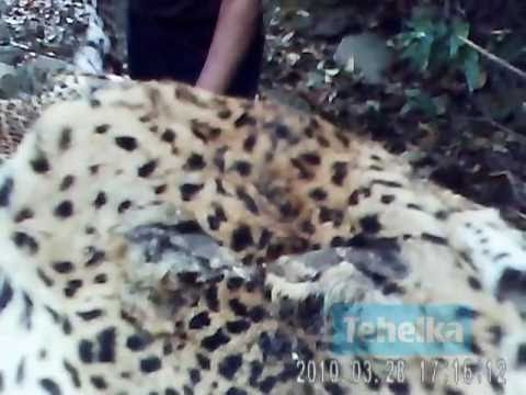 Tiger Poaching Exposé - Poacher shows off full skins of 2 Leopards
