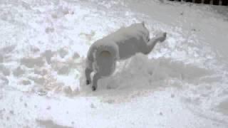 流石アイヌドッグです。こんなに雪が似合う犬はいませんね、今朝起きる...