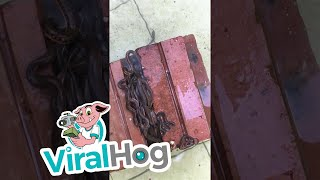 Small Snakes Find Home in Stack of Bricks || ViralHog