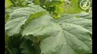 Растения - убийцы!(Борщевик при повреждении выделяет на срезе сок, в котором содержатся ядовитые вещества - фурокумарины...., 2014-01-30T06:49:57.000Z)