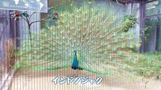 インドクジャク(Pavo cristatus) が羽を広げてくれました ヽ(^o^)ノ