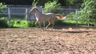 """ООО """"Ахалтекинец"""" Продажа лошадей ахалтекинской породы. LLC """"Akhalteke"""" Horses for sale Akhal-Teke"""