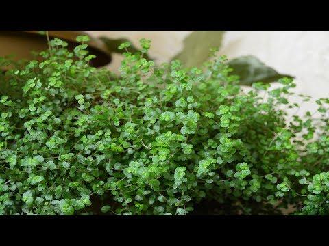 Комнатное растение солейролия или гелксина.  Как размножить!?