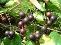 The Mighty Muscadine Grape