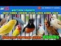 Kompilasi Masteran Favorite Kapas Tembak Lovebird Cililin Gereja Kenari Cigun Audio(.mp3 .mp4) Mp3 - Mp4 Download