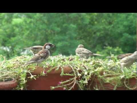 house sparrows in balcony