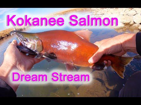 Dream Stream Kokanee Salmon Fly Fishing Action Platte River