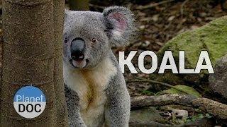 El Koala y sus Hábitos | Animales Salvajes - Planet Doc