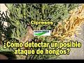 Síntomas de ataque de hongos (phytophthora) en coníferas (ciprés)