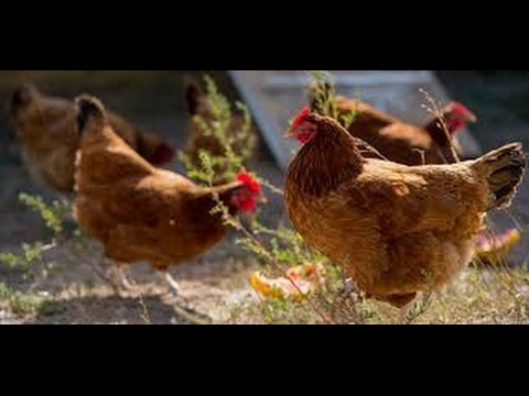 8-months-old-egg-laying-hens-03459442750-zain-ali-farming-in-pakistan