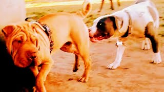 Shar Pei Sends Aggressive Warning To American Bully To Back Off