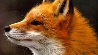 Ylvis - The Fox (what does the fox say?) Lyrics thumbnail