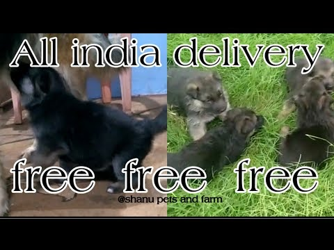 free-free-free-german-shepherd-puppies-||-free-adoption-||-all-india-delivery-||-spf