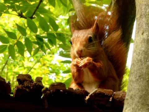 Comment un écureuil ouvre les noix , vidéo SOS écureuil roux