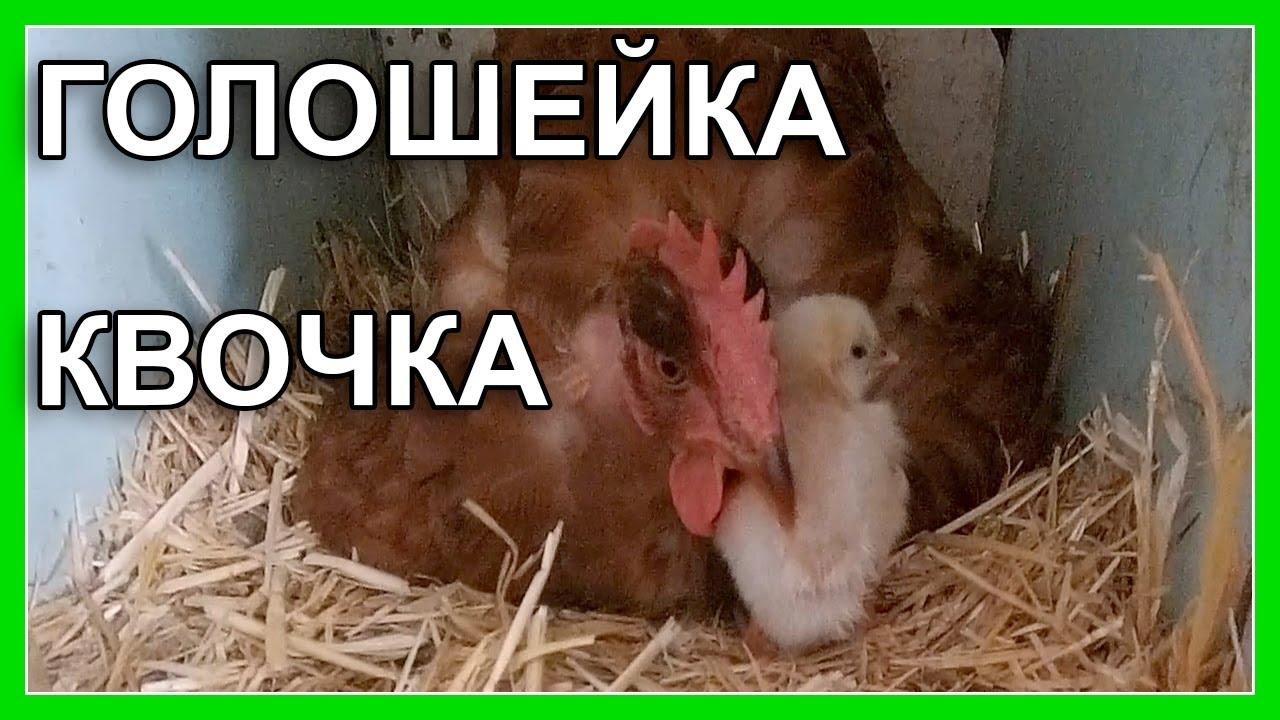 Голошейка квочка / разведение кур / содержание кур