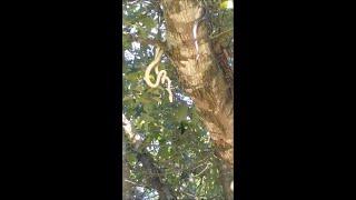Snake Mating Dance || ViralHog