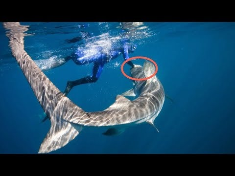 Download When Tiger Sharks Attack
