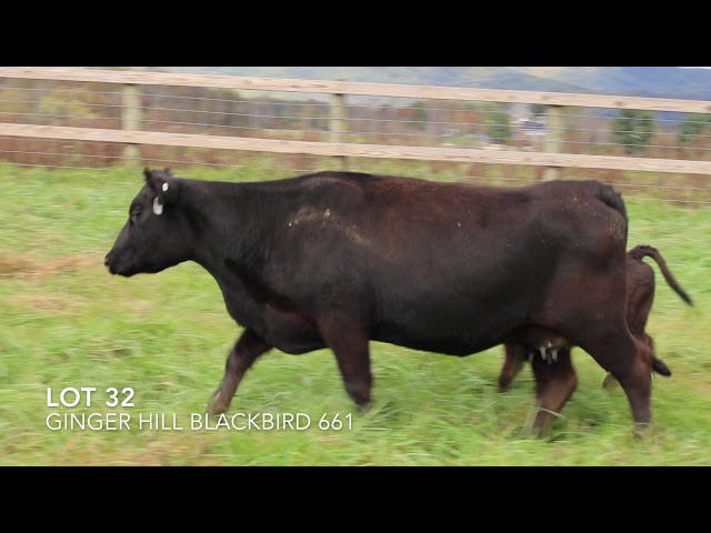 Ginger Hill Angus Lot 32
