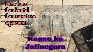 Keanu beli kura2,  ikan buntal, ikan sumatra di Jatinegara part 2