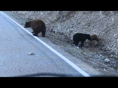 Yellowstone bears eating elk