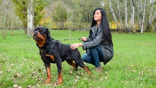 Beautiful Rottweiler In Exclusive Luxury Handcrafted Padded Dog Harness Made Of Leather