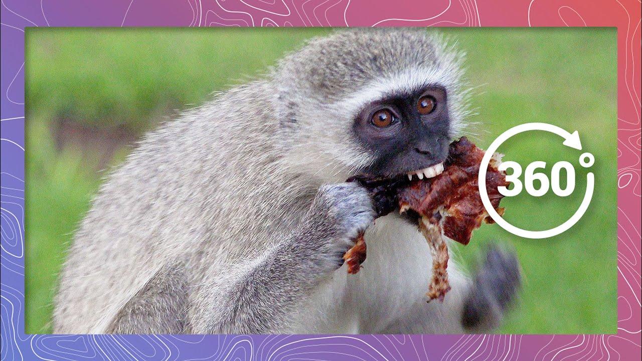 Vervet Monkeys Take a Stand   Wildlife in 360 VR