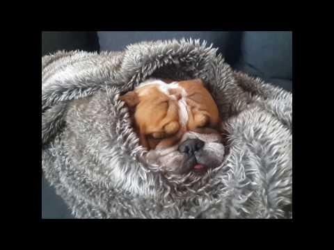 #7 Funny/Crazy English Bulldog Compilation