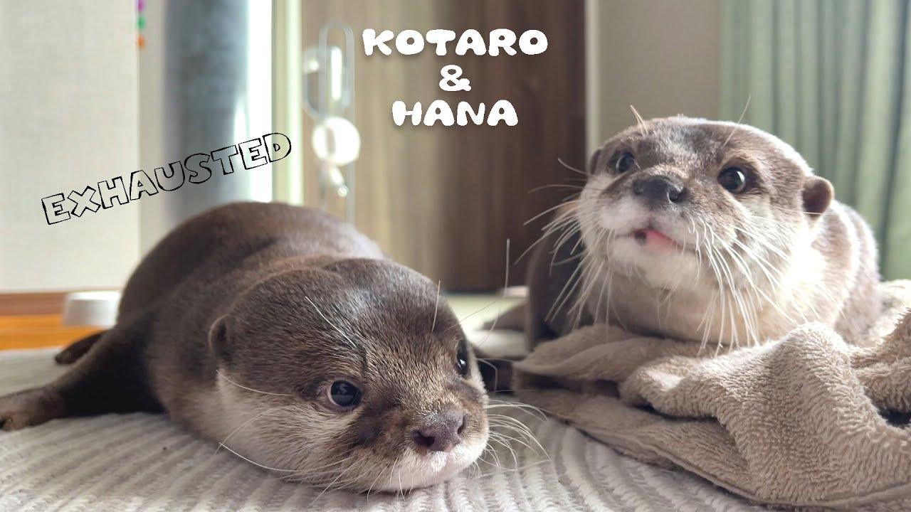面白いくらい全力ではしゃいで力尽きたカワウソの最後 Exhausted Otter After Too Much Play