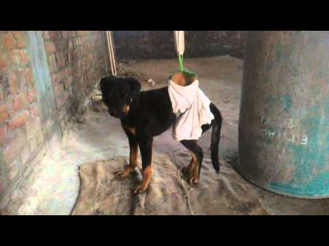 Spinal cord aka vertibral column injury recovery of my Rottweiler dog Sandy (physiotherapy) India