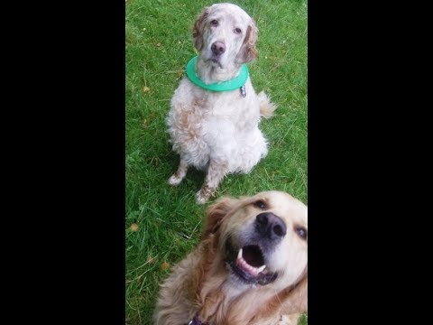 Golden Retriever Maizey, English Setter Otis & Kallie Setter X.