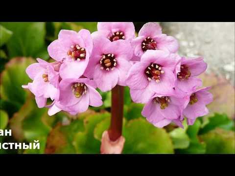 Бадан декоративное растение