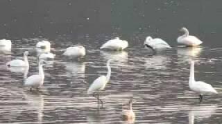 白鳥の湖(沼)に迷い込んだシラサギさん。紛らわしいです。