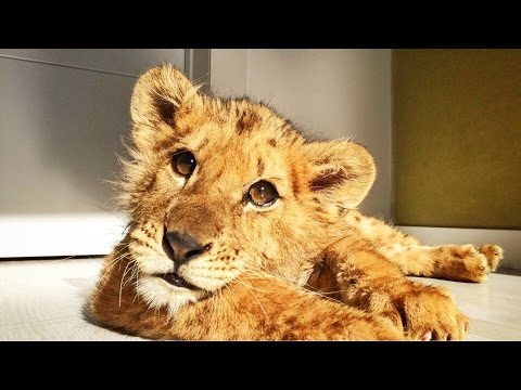 Amazing Lion Cub abused at circus gets second chance
