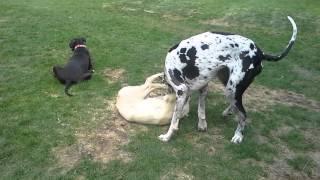 Harlequin Great Dane And English Cream Golden Retriever Playing