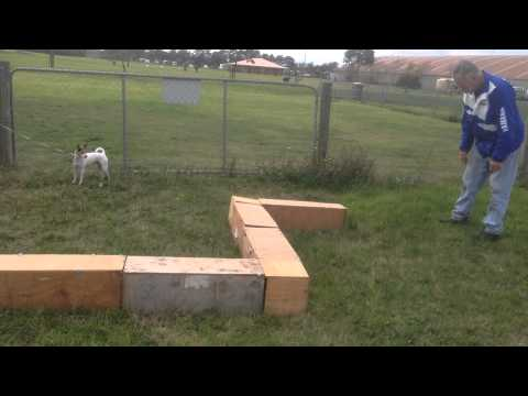 Tenterfield Terrier learns Earthdog for the first time 4