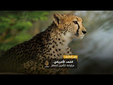 الفهد الأفريقي.. مراوغة لتأمين الصغار
